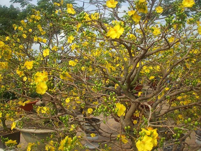 Hoa mai nở rộ báo hiệu cho một mùa xuân đầy hân hoan
