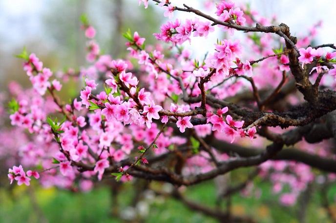 Cành đào là biểu tượng cho mùa xuân ở miền Bắc