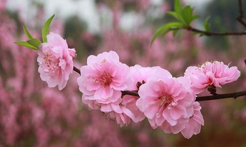 Những bông hoa đào nở rộ đang khoe sắc