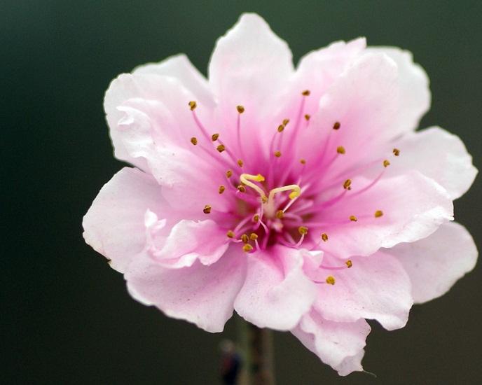 Hoa đào mang nhiều ý nghĩa phong thủy tốt lành