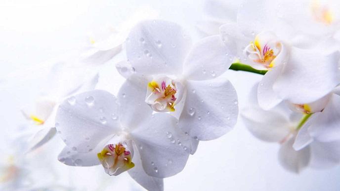 Hoa lan trắng