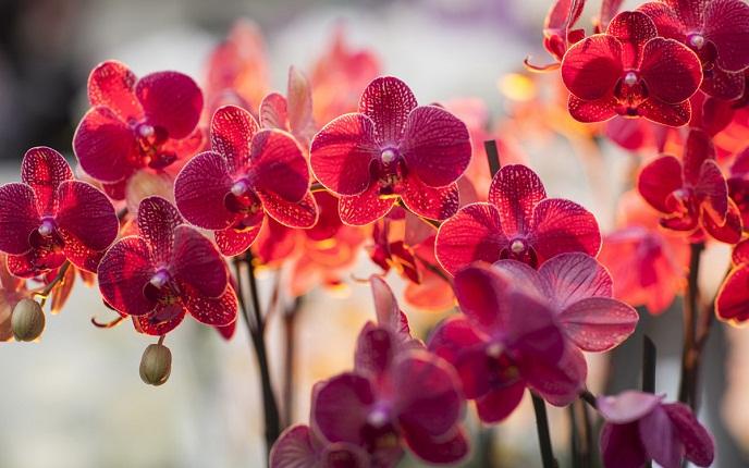 Hoa lan đỏ