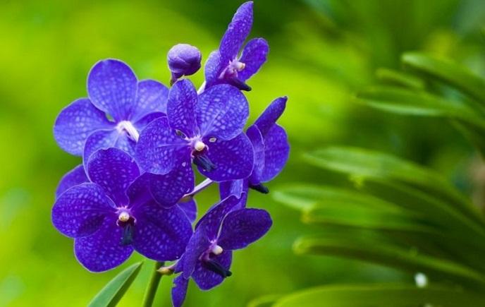 Hoa lan xanh dương