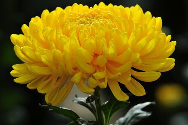 Loài hoa gắn liền với nhiều sự tích ý nghĩa